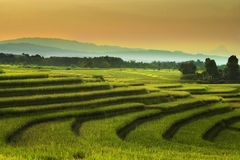 The beauty of the rice fields in the summer/summer time rice field. Morning sky at rice fields in north bengkulu indonesia, beauty nature color and time in the stock image