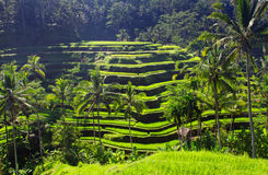Beauty rice terrace royalty free stock images