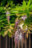 Beauty rooted in the large wisteria trellis Stock Image