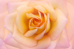 Beauty rose background closeup macro. Royalty Free Stock Photography