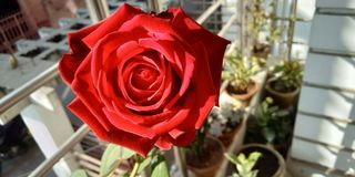 Beauty rose stock image