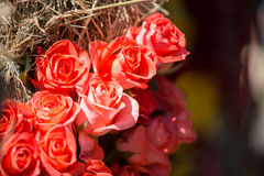 Beauty of roses Stock Photography