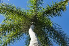 Cuban Royal Palm Tree in beautiful blue clear sky stock images