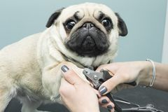 Woman cuts the claws of a pug breed dog. royalty free stock photography
