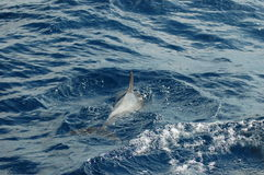The beauty of saltwater dolphins playing in the Atlantic Ocean Stock Photography