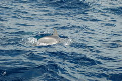 The beauty of saltwater dolphins playing in the Atlantic Ocean Royalty Free Stock Photo