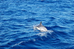 The beauty of saltwater dolphins playing in the Atlantic Ocean Royalty Free Stock Image