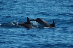 The beauty of saltwater dolphins playing in the Atlantic Ocean Royalty Free Stock Photography