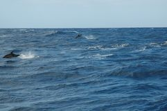 The beauty of saltwater dolphins playing in the Atlantic Ocean Stock Images