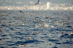 The beauty of saltwater dolphins playing in the Atlantic Ocean Royalty Free Stock Photos