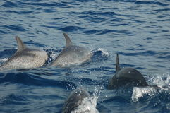 The beauty of saltwater dolphins playing in the Atlantic Ocean Stock Image