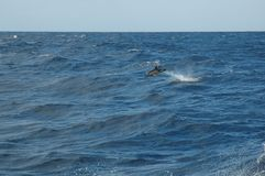 The beauty of saltwater dolphins playing in the Atlantic Ocean Stock Photos