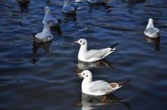 The beauty of the sea gull Royalty Free Stock Photos