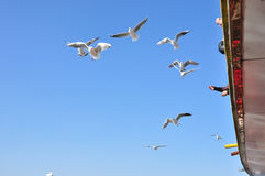 The beauty of the seagull Stock Image