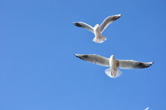 The beauty of the seagull Royalty Free Stock Photography