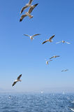 The beauty of the seagull Royalty Free Stock Photos