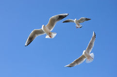The beauty of the seagull Stock Photography