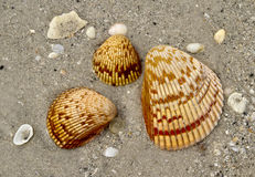 Beauty of Shells Stock Photography