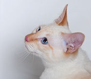 Beauty siamese cat red-point Royalty Free Stock Photos