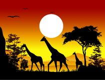 Beauty silhouette of giraffe family Royalty Free Stock Images