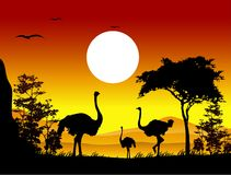 Beauty silhouette of ostrich Stock Images
