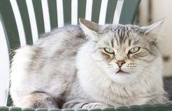 Beauty silver cat on the garden chair Stock Photography