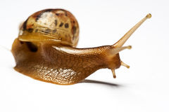Beauty snail Achatina over white backgrounds Royalty Free Stock Photography