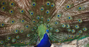 The beauty and splendor. Of the peacock Royalty Free Stock Photos