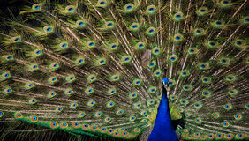 The beauty and splendor. Of the peacock Royalty Free Stock Images