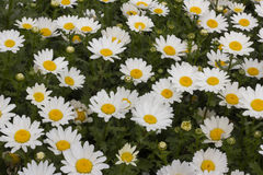 The beauty of spring flowers. Springs lovely face white daisies Stock Photo