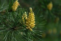 Flowering pine royalty free stock photo