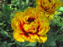 The beauty of spring. Yellow-red curly tulip against the background of green grass. Representative of Flaming Parrot. More than 400 years ago, several thousand Stock Image