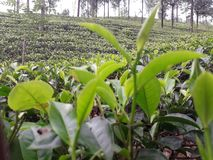 Beauty of sri lankan tea industry stock photography