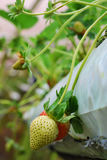 The beauty of strawberry. Blurred background and some noise applied Stock Image