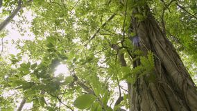 Beauty of sun shining through the green leaves of the big tree. Beauty of sun shining through the green leaves of the big tree are blowing in the wind.n stock video footage
