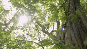 Beauty of sun shining through the green leaves of the big tree. Beauty of sun shining through the green leaves of the big tree are blowing in the wind.n stock footage
