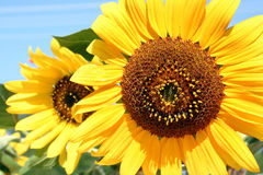 Beauty sunflower Royalty Free Stock Image