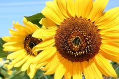 Beauty Sunflower
