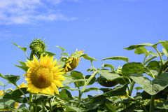 Beauty sunflower and blue summer sky Stock Images
