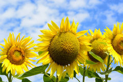 Beauty sunflower and blue summer sky Stock Photography