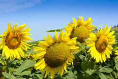 Beauty sunflower and blue summer sky Stock Image