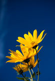 Beauty sunflowers with blue sky Stock Photo