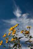 Beauty sunflowers with blue sky Stock Image