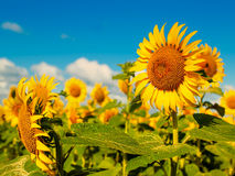 Beauty Sunflowers on the field Royalty Free Stock Images