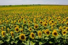 Beauty sunflowers field. Summer landscape: beauty sunset over sunflowers field royalty free stock image