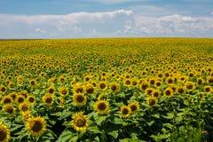 Beauty sunflowers field. Summer landscape: beauty sunset over sunflowers field stock image