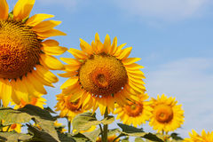 Beauty of sunflowers with sky. Royalty Free Stock Photography