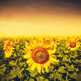 Beauty sunset over sunflowers field Royalty Free Stock Photos