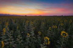 Beauty after sunset sky over full bloom sunflower Royalty Free Stock Photo