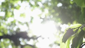 Beauty of sunshine through the green leaves of the tree. stock footage